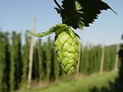 Willamette Hop Rhizome